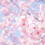 東京都内の桜が綺麗な名所&穴場おすすめお花見スポット39選!