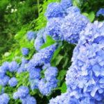 東京都内の紫陽花の名所から穴場までおすすめスポット33選!